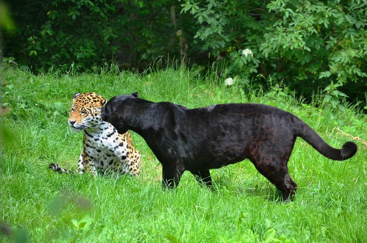 картинки с леопардами пантерами львами пумами больше