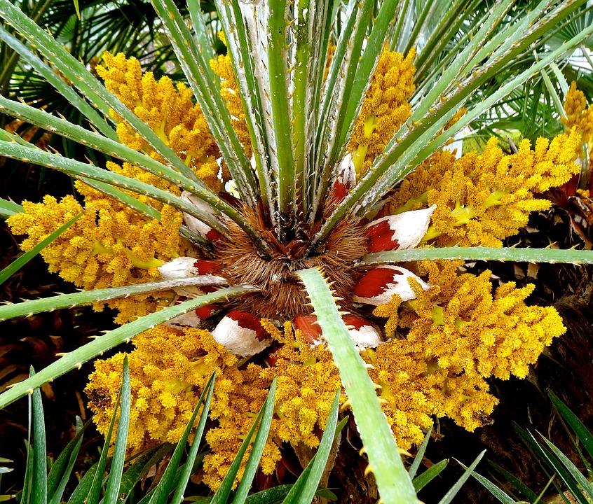 Bunga Kelapa Sawit Pohon - Foto gratis di Pixabay