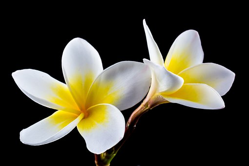 Plumeria images pixabay download free pictures blossom bloom flower white yellow frangipa mightylinksfo