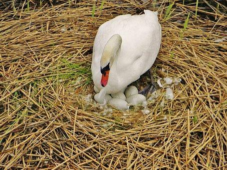 Schwan, Brütender Schwan, Nest