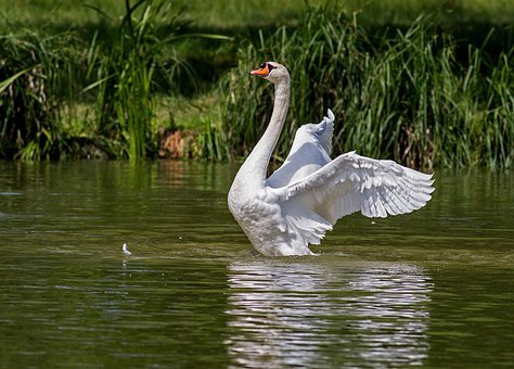 Swan, Water Bird, Animal, Nature, Swim