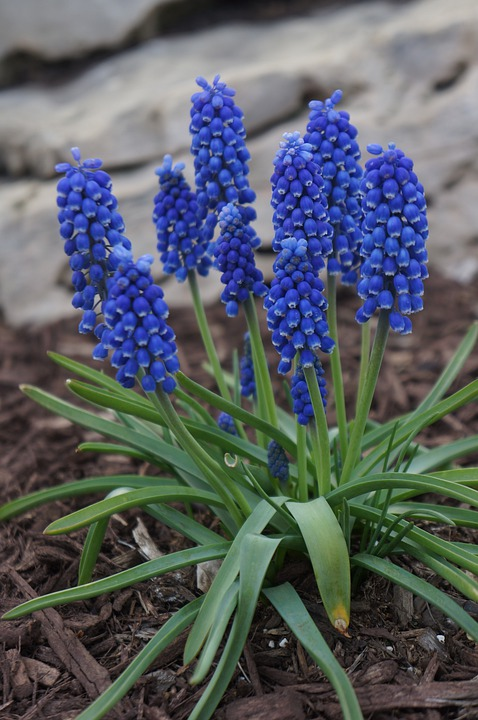 bulbe fleur bleue