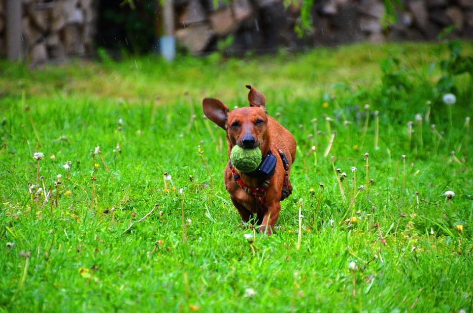 Foto gratis bassotto cane palla marrone immagine for Bassotto cane
