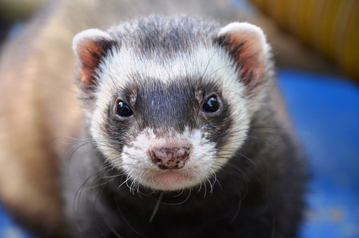 Ferret Animal Eyes Close Ferret Ferret Fer