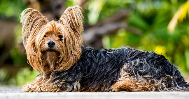 Yorkshire Terrier, Terrier, Dog