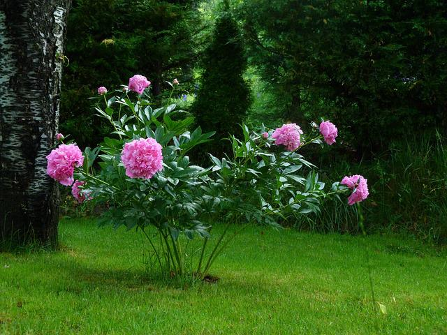 free photo flowers nature garden peony rose free image on pixabay 361822