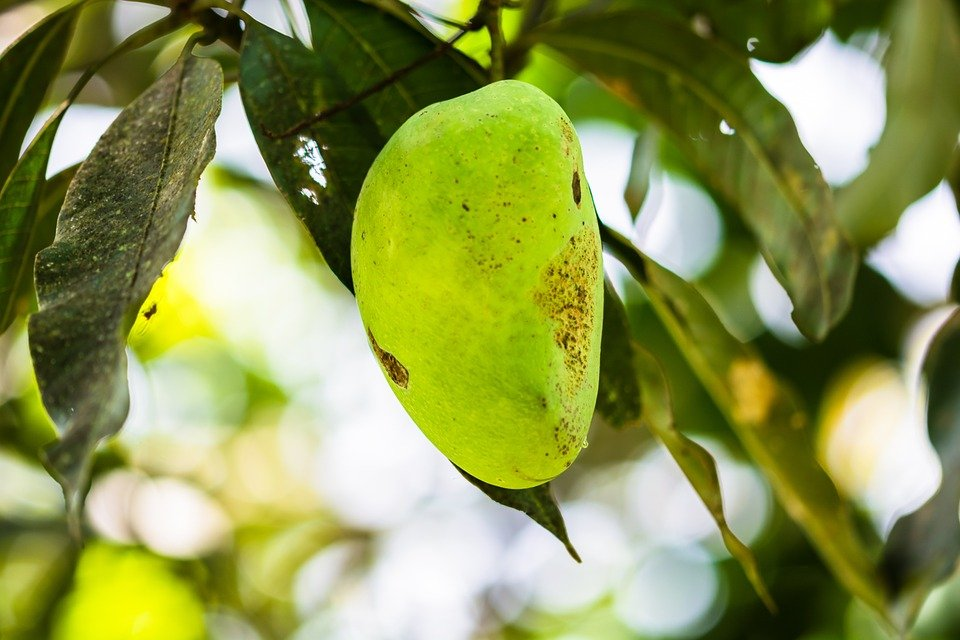mango tree short essay I am a tree, tall and imposing  autobiography of a tree – essay  176 words short essay on the autobiography of a mango tree  autobiography of a dining table.
