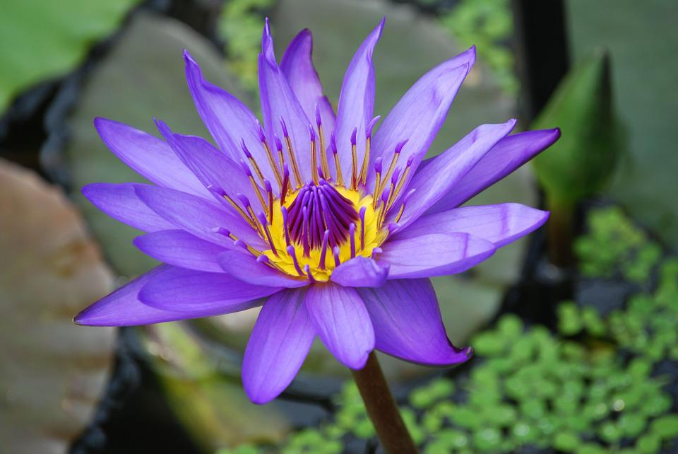 purple lily flower plant - photo #33