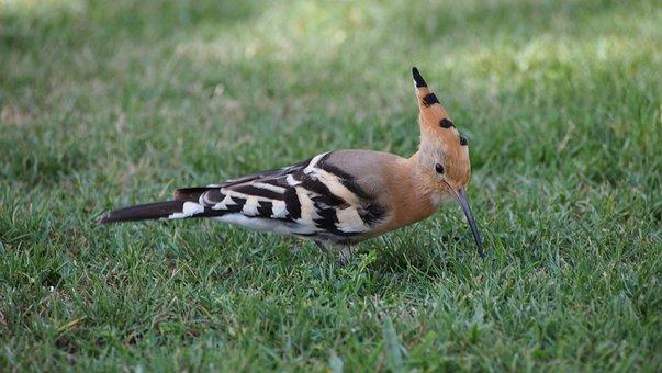 Abubilla Pájaro Verano Animal Naturaleza A
