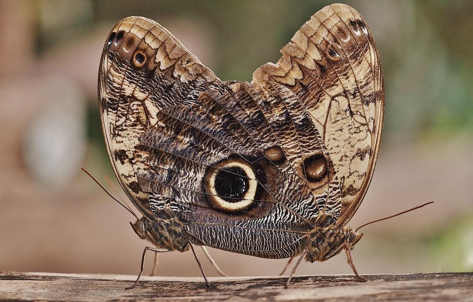 フクロウ蝶, 蝶, Caligo, タテハチョウ科, 昆虫, Caligo Eurilochus, 底