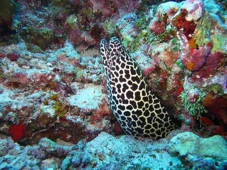 Moray Eel, Maldives, Sea