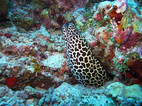 Moray Eel, Maldives, Sea