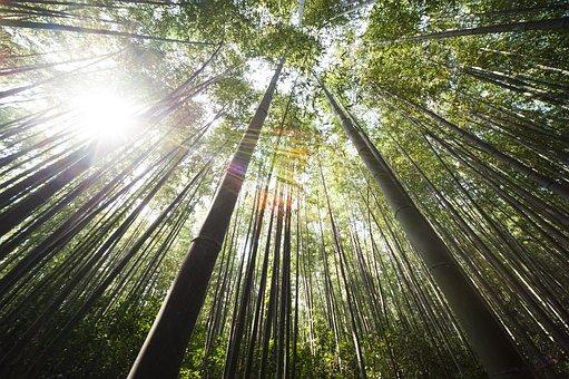 Bamboo Damyang Sunshine Bamboo Bamboo Suns