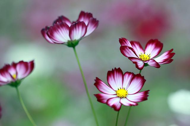 Free photo: Cosmos, The Universe, Flowers, Neat - Free Image on ...