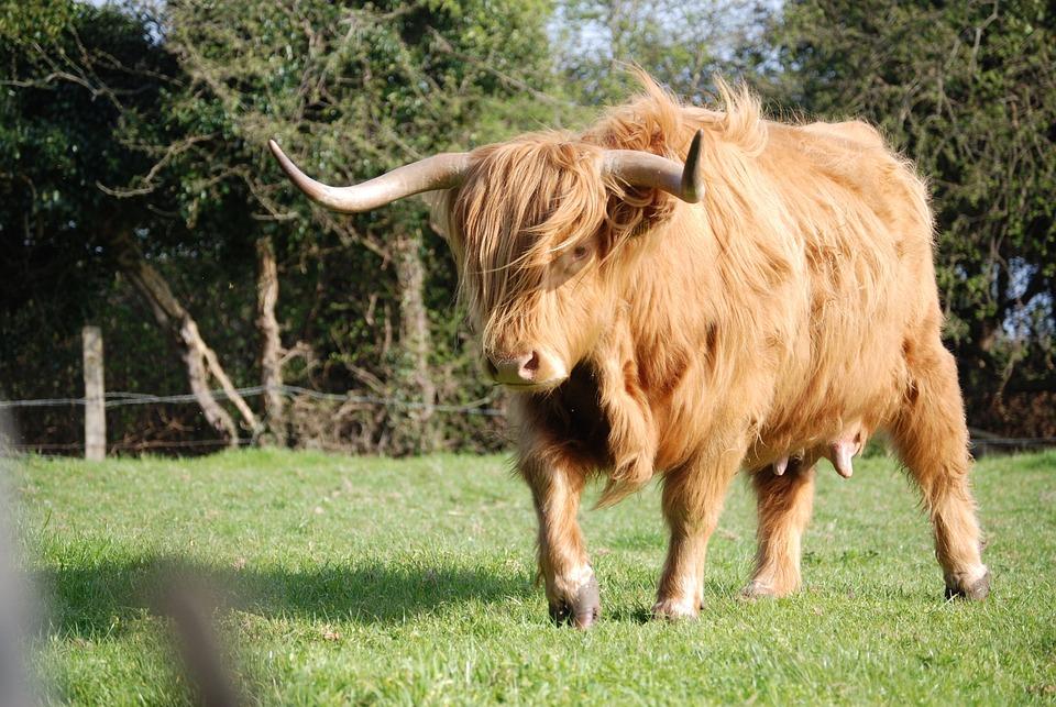 reses de las highland ganado vaca foto gratis en pixabay