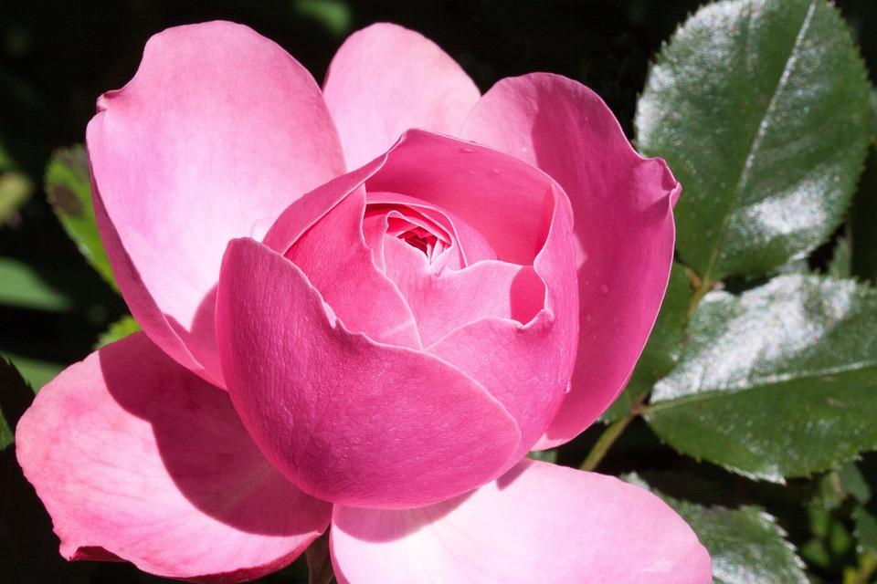 Rosado, Rosa, Flor, Pétalos, Planta, Rosa Rosada