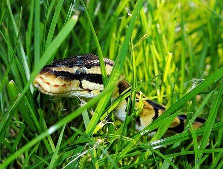 Snake, Ball Python, Garden, Camouflage
