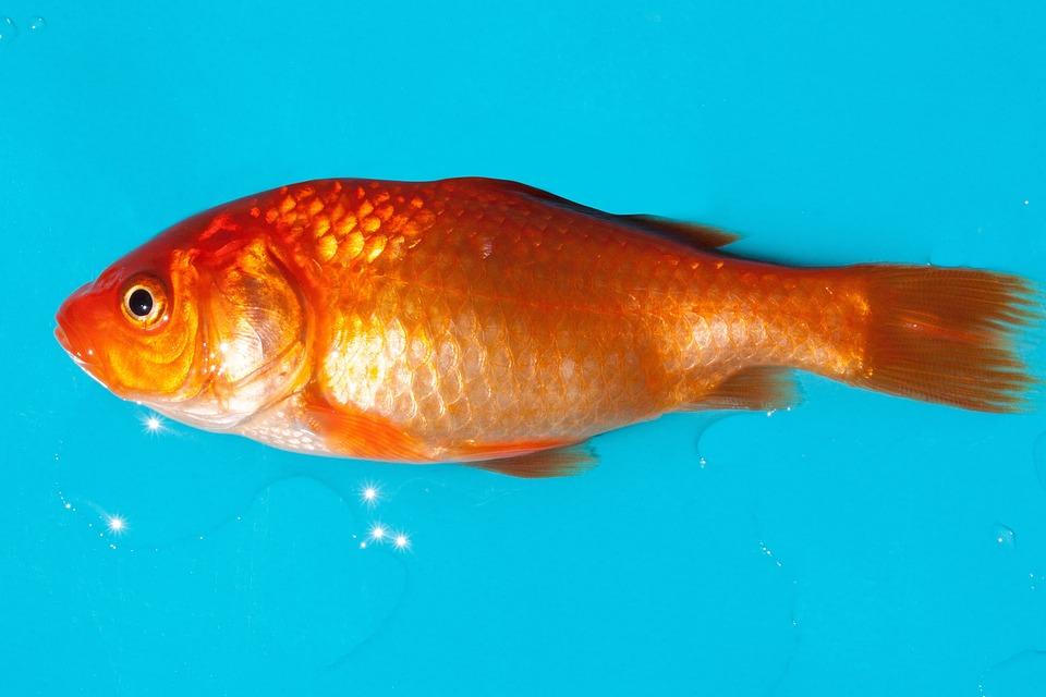 Photo gratuite poisson rouge poissons d 39 eau douce for Acheter poisson rouge animalis