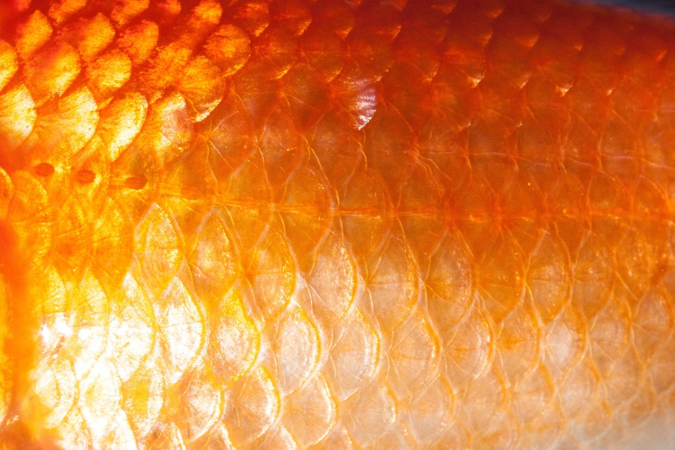 Free photo scale fish scales goldfish free image on for Koi fish scales