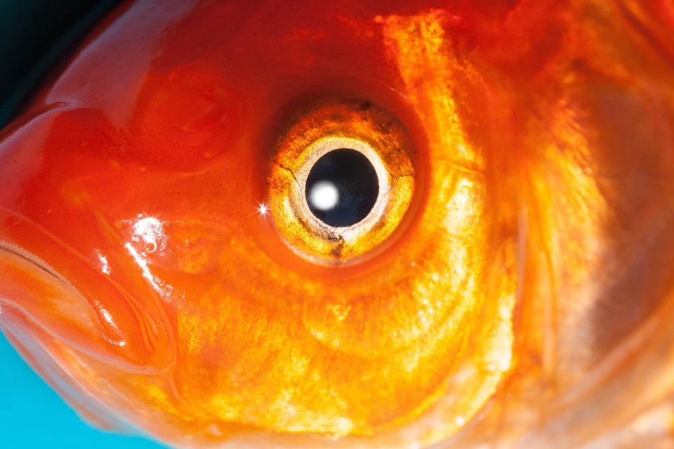 Goldfish Eyes | Eye Goldfish Freshwater Fish Free Photo On Pixabay
