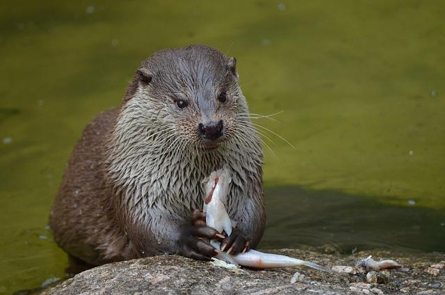 Free Photo Otter Feeding Eat Food Free Image On