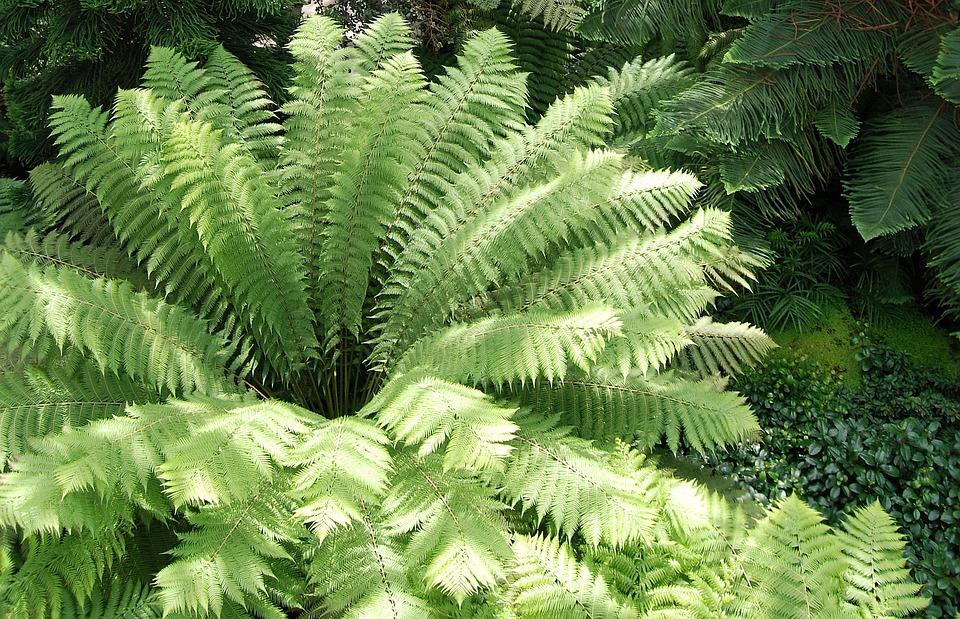 葉, 緑, シダ, 放射, 植物の, ワラビ, 熱帯雨林