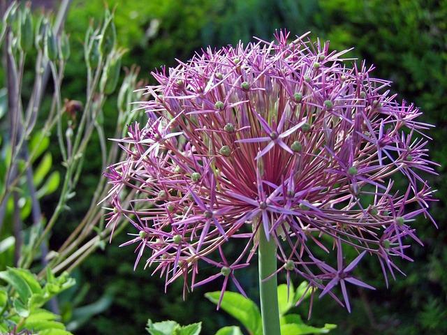 Free Photo: Ornamental Onion, Blossom, Bloom