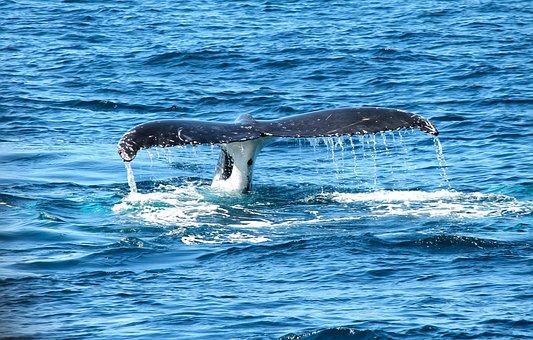 Whale, Ocean, Marine, Maritime, Sea