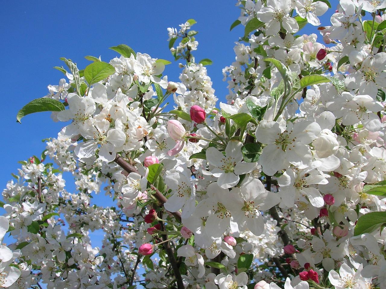 имея красивые картинки цветущих яблонь очень закрытая, кем