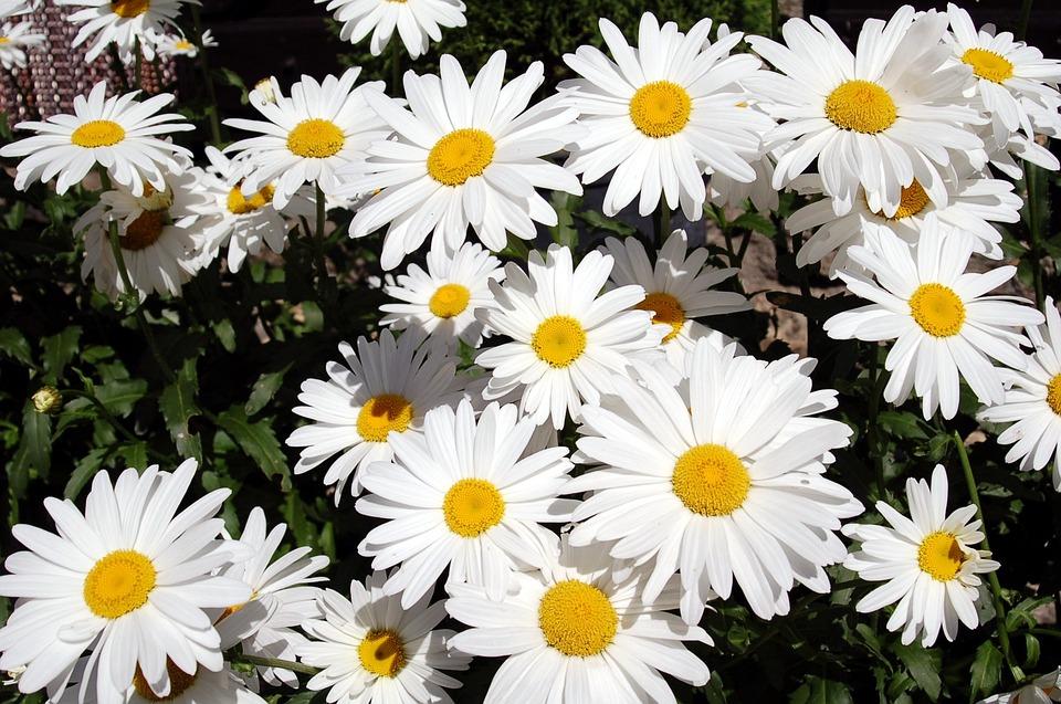 Flowers Nature Margaritas · Free photo on Pixabay