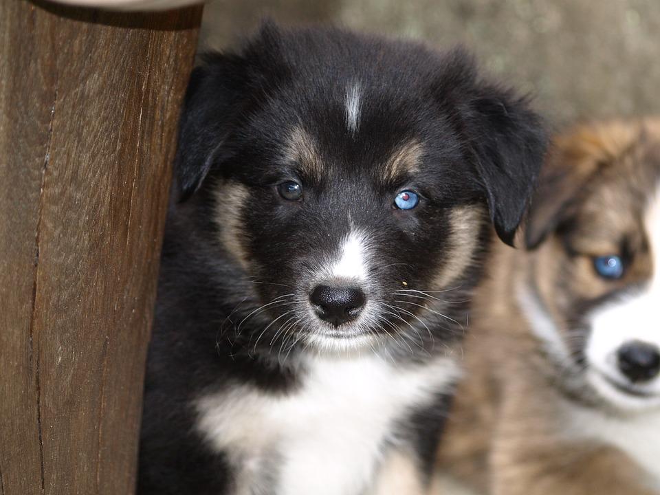 photo gratuite chiot jeune chien mignon yeux image gratuite sur pixabay 369851. Black Bedroom Furniture Sets. Home Design Ideas
