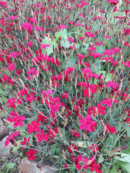 Bunga Cengkeh Tanaman Hias Foto Gratis Di Pixabay