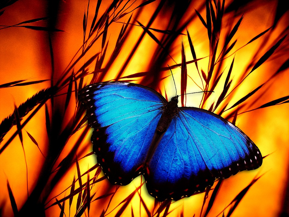 Free Illustration Butterfly Halme Meadow Sunset Free