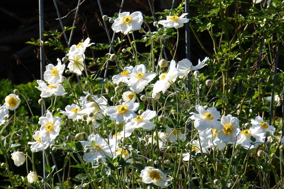 Fall Anemone, Japanese Fall Anemone, Bud, White, Flower