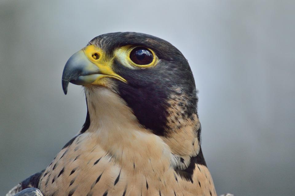 falcão peregrino predador raptor foto gratuita no pixabay