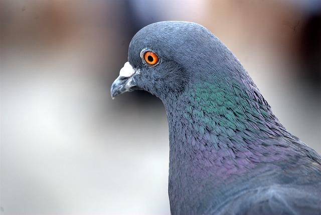 free photo pigeon homing bird closeup free image on