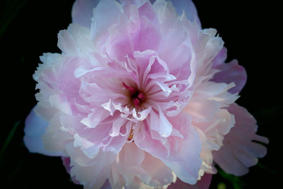 fleur pivoine rose photo gratuite sur pixabay. Black Bedroom Furniture Sets. Home Design Ideas