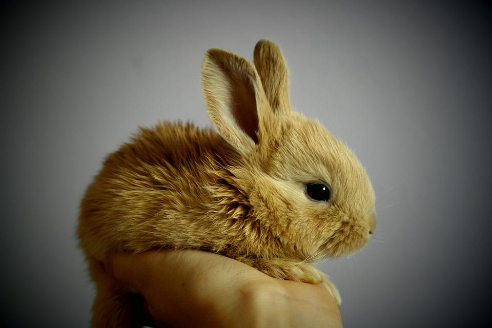 Lapin, Palm, Main, Bunny, Petits, Minuscules, Rousse