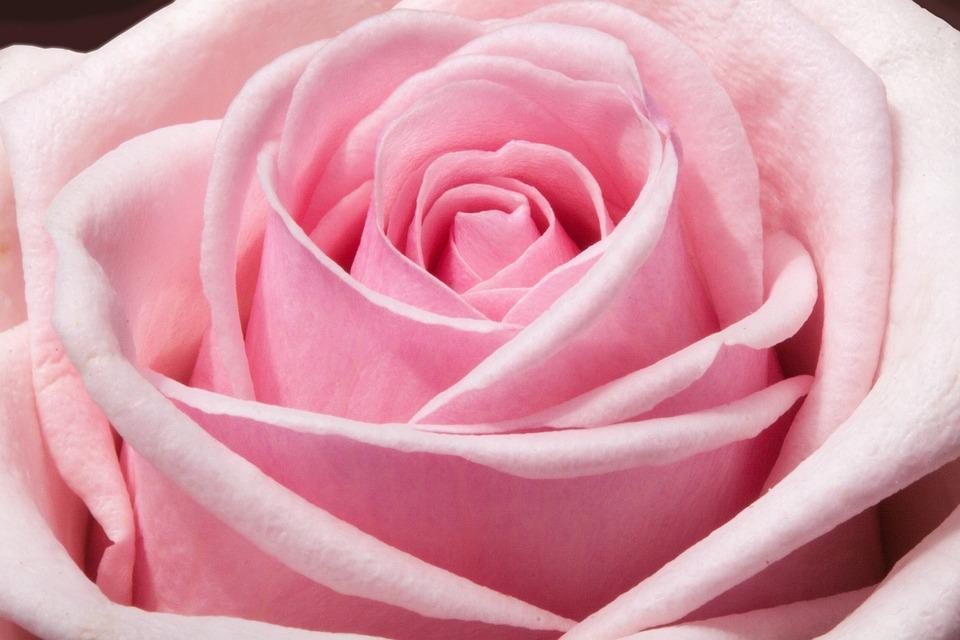 Ros, Composites, Blommor, Våren, Sommaren, Natur, Växt