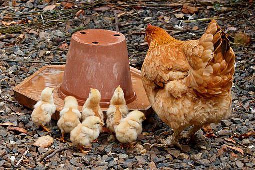 Mother Hen, Mom, Chicken, Young, Family