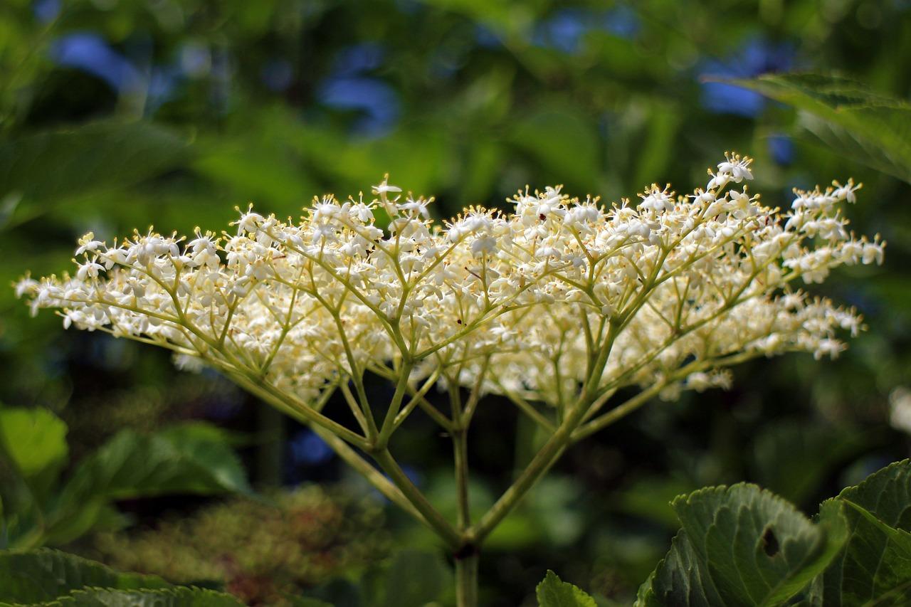 картинки цветы бузины удар