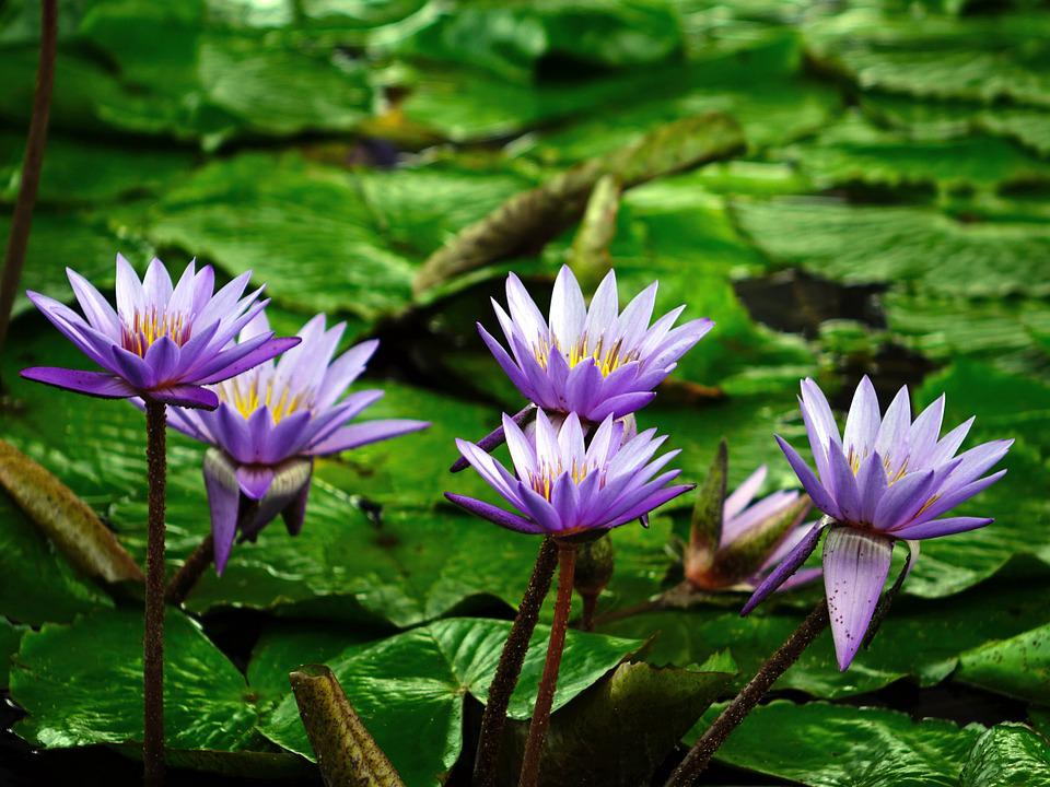 Free photo: Water Lily...