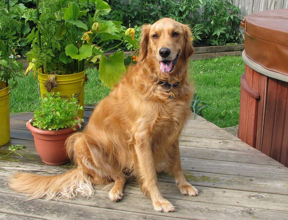 Golden Retriever Dog Pet 183 Free Photo On Pixabay