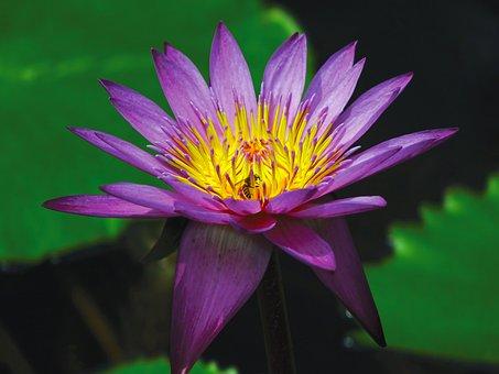 Vodní Lilie, Květina, Rybník, Vodních
