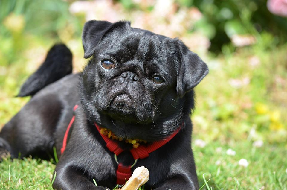 Nature S Domain Dog Food For Pugs