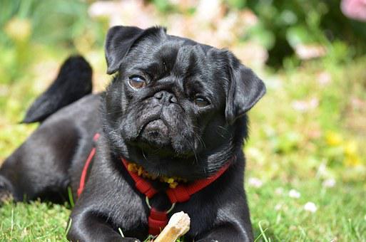 Pug, Dog, Pet, Lap Dog, Purebred Dog