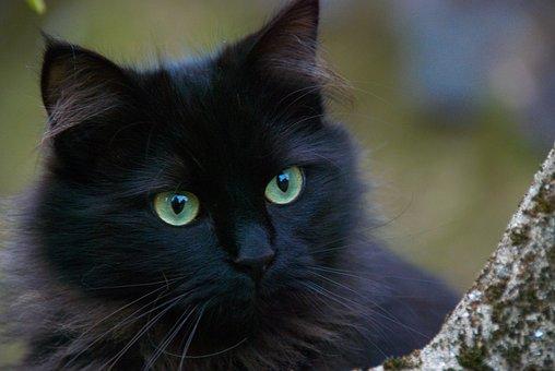 Schwarze Katze, Katzen