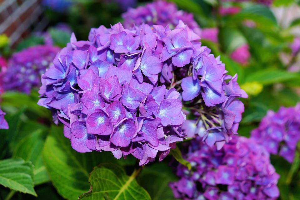 free photo hydrangea, flowers, purple  free image on pixabay, Natural flower