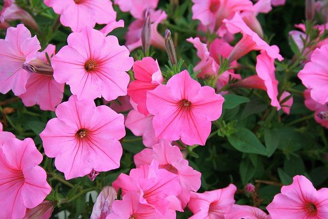 Free Photo: Petunias, Flowers, Pink, Nature