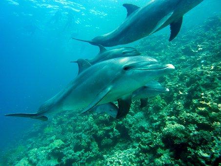 Dolphins Marine Mammals Diving Underwater